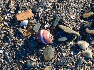 Two Lights Sea Shell