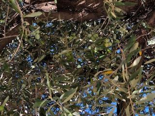Agora olives